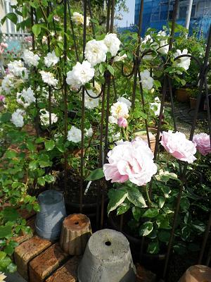 我が家のバラ・4_e0086738_1440555.jpg
