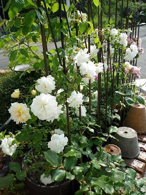 我が家のバラ・4_e0086738_14415758.jpg