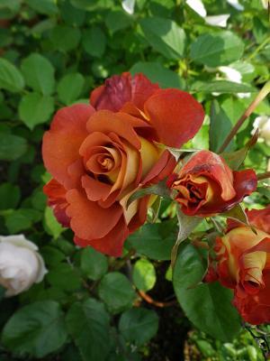 我が家のバラ・4_e0086738_1450168.jpg
