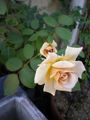 我が家のバラ・4_e0086738_1454775.jpg