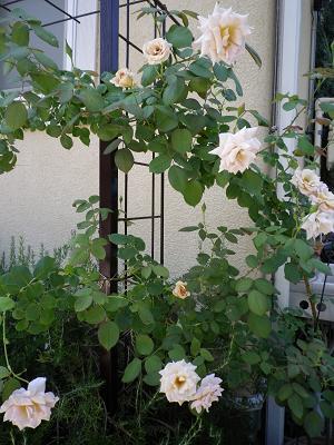我が家のバラ・4_e0086738_14553091.jpg