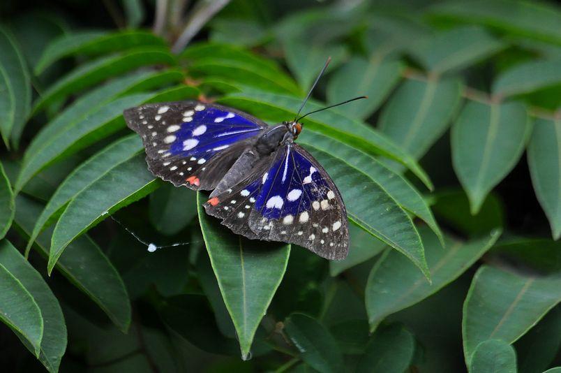 7月16日(晴れ時々くもり)タイトル:季節はずれのオオムラサキ_f0105542_18443493.jpg