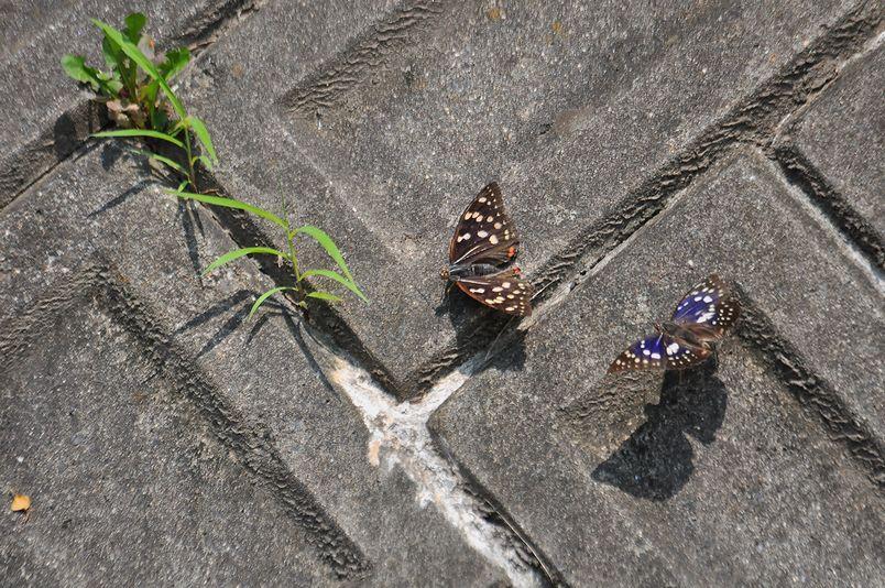 7月16日(晴れ時々くもり)タイトル:季節はずれのオオムラサキ_f0105542_18453691.jpg