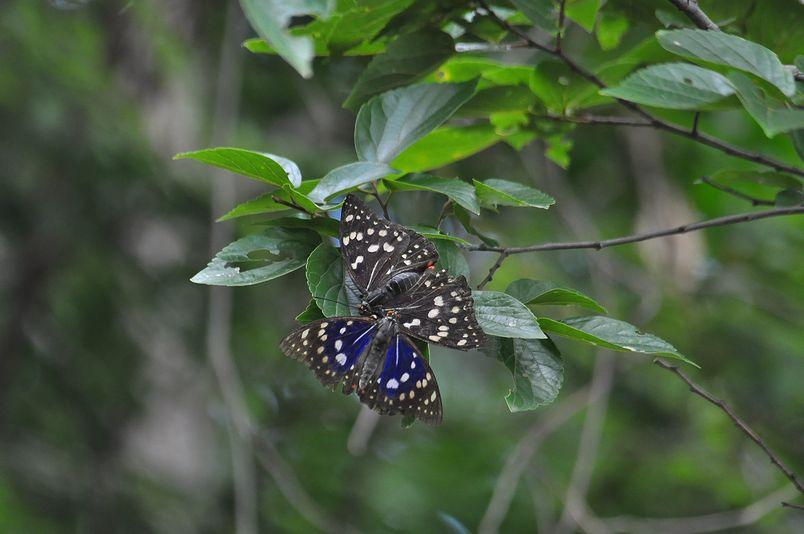 7月16日(晴れ時々くもり)タイトル:季節はずれのオオムラサキ_f0105542_18455766.jpg