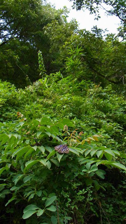 7月16日(晴れ時々くもり)タイトル:季節はずれのオオムラサキ_f0105542_18462277.jpg