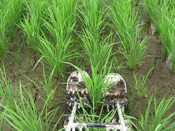 【真剣!野良仕事】[164=一緒に米作り、しませんか ⑨ 栄養過多] : DISCOVER  CHIBA 千葉の小さな魅力発見!