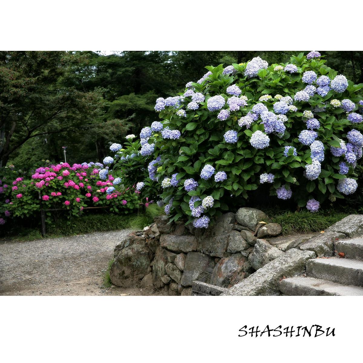 紫陽花 2011  <矢田寺>_f0021869_12158100.jpg