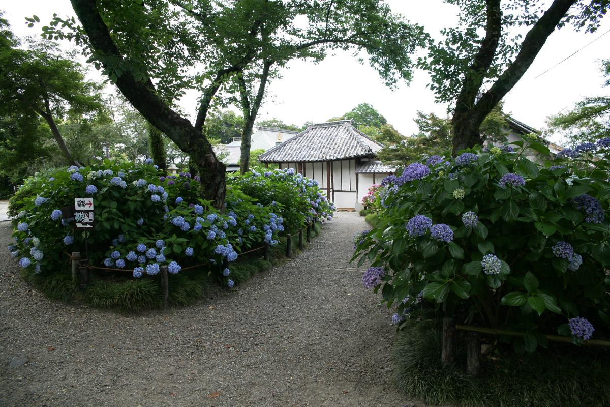 紫陽花 2011  <矢田寺>_f0021869_1231564.jpg