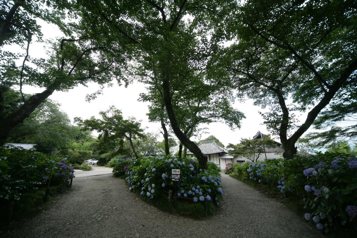 紫陽花 2011  <矢田寺>_f0021869_1234749.jpg