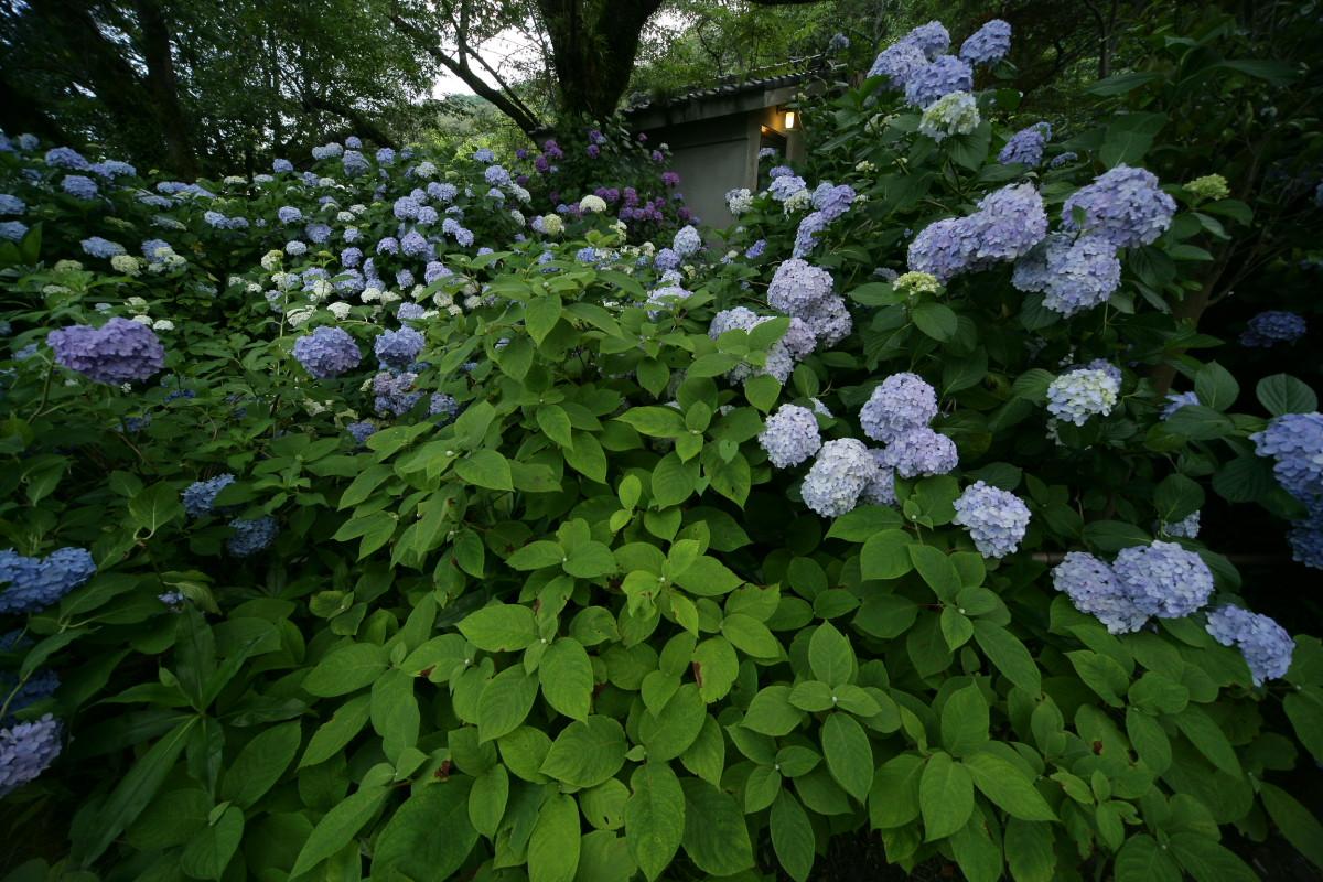 紫陽花 2011  <矢田寺>_f0021869_1251392.jpg