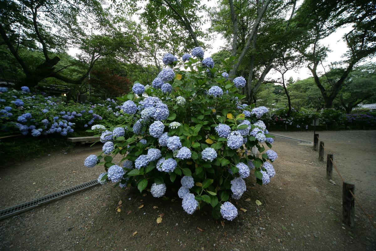 紫陽花 2011  <矢田寺>_f0021869_1255179.jpg