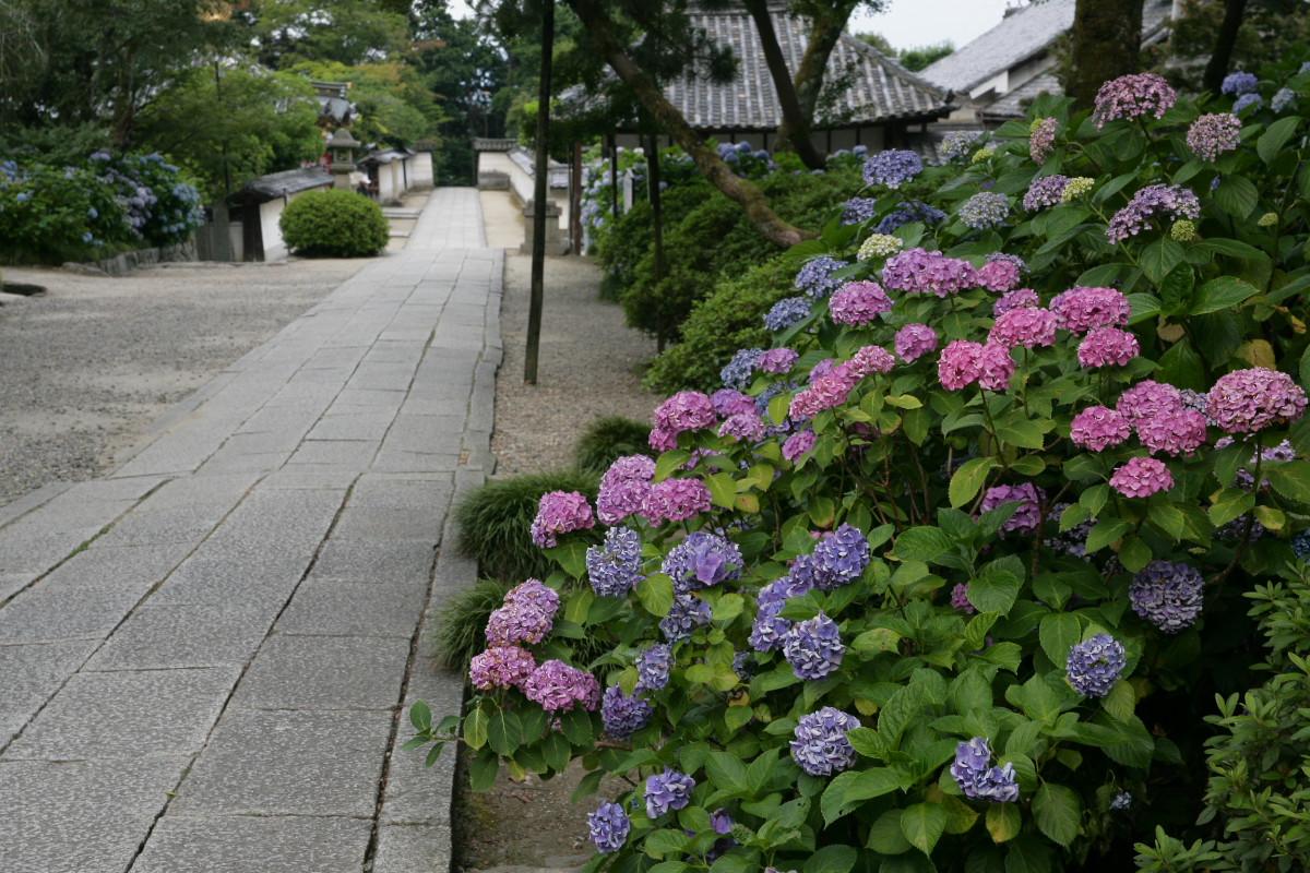 紫陽花 2011  <矢田寺>_f0021869_1265044.jpg