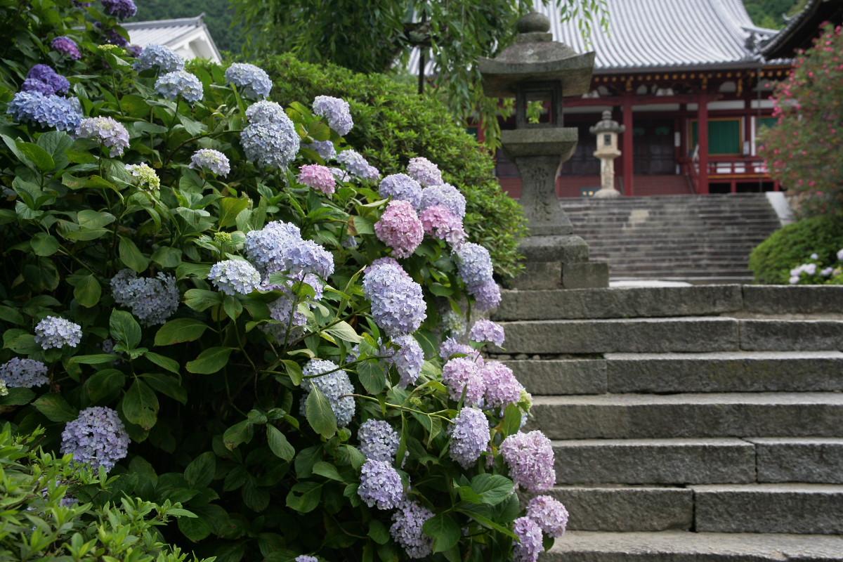紫陽花 2011  <矢田寺>_f0021869_1275836.jpg