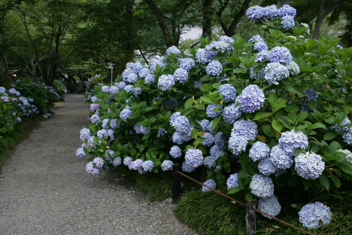 紫陽花 2011  <矢田寺>_f0021869_129398.jpg