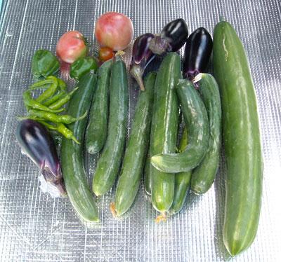 最近頂いた物(お魚、明日葉ラスク)&家庭菜園の野菜収穫 (シマトウガラシも初採取)_e0097770_17372713.jpg