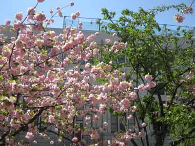 桜の通り抜け♪続き。_d0136282_206322.jpg