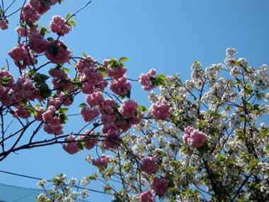 桜の通り抜け♪続き。_d0136282_2065340.jpg