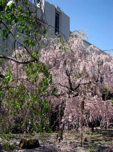 桜の通り抜け♪続き。_d0136282_2074583.jpg