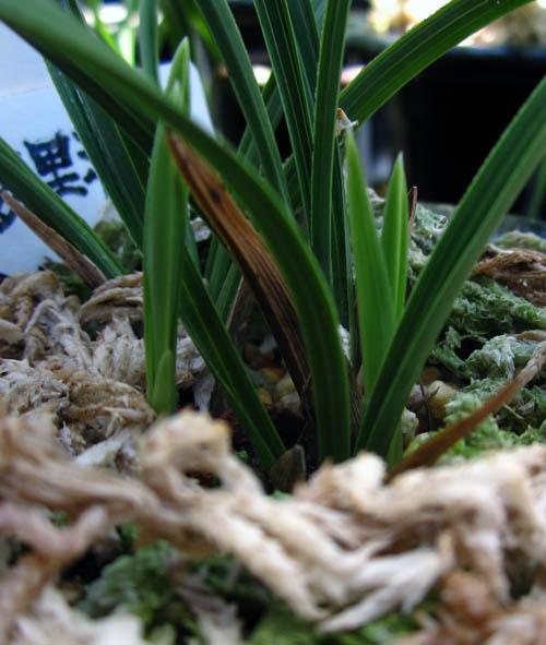 東洋蘭の芽                       No.1013_d0103457_1291029.jpg