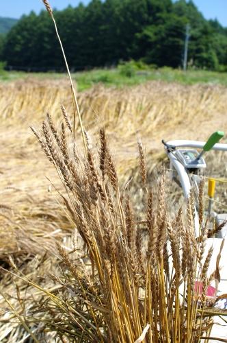 小麦の脱穀_c0110869_22573465.jpg