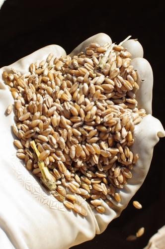 小麦の脱穀_c0110869_2258272.jpg