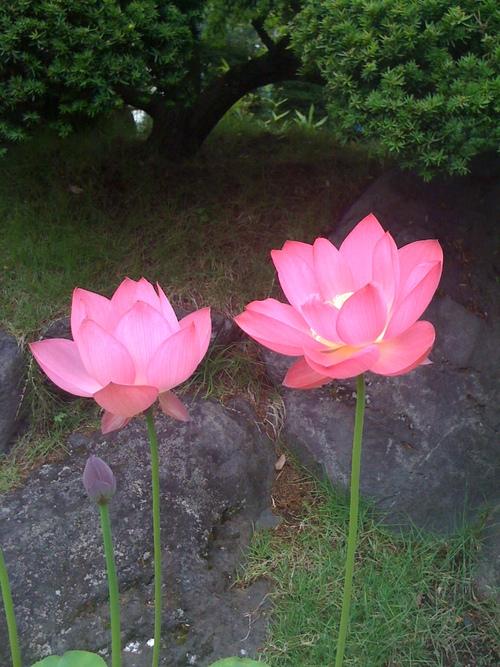 5 important things of lotus flower in Buddhism_b0188106_14184588.jpg