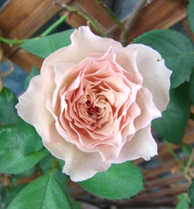 名残りの薔薇_a0111125_1918591.jpg
