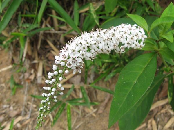 ゴキゲンニャンコと花はトラノオ_f0214527_13555915.jpg