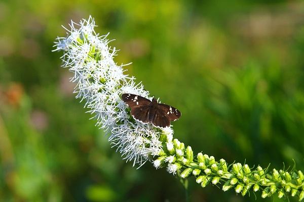 ゴキゲンニャンコと花はトラノオ_f0214527_13585883.jpg