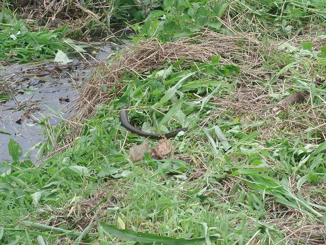 やっぱりヘビが出た!小潤井川の草刈り_f0141310_7244974.jpg