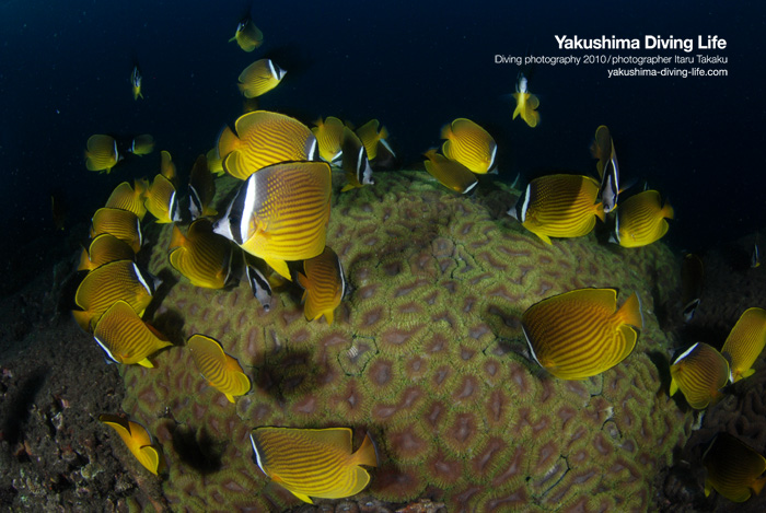 マルハナガタサンゴがようやく産卵!_b0186442_0181562.jpg