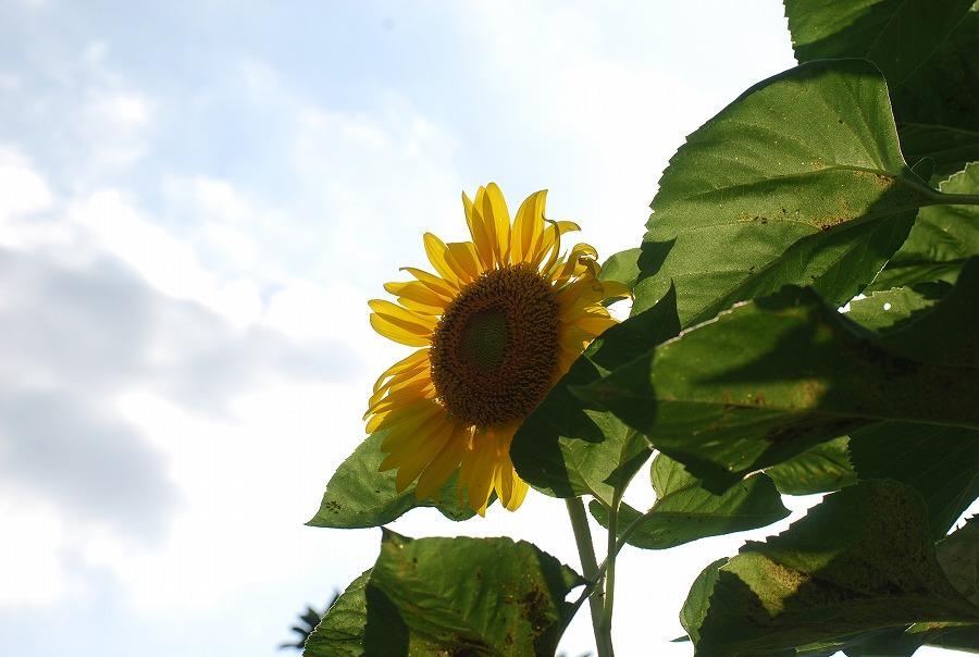 台風の去った後の花たち_c0187781_21201361.jpg