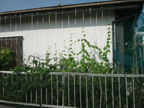 グリーンカーテンの経過@ゴーヤと三尺ササゲ_f0018078_175509.jpg
