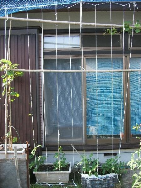 グリーンカーテンの経過@ゴーヤと三尺ササゲ_f0018078_1782098.jpg