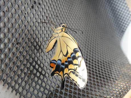 アゲハ蝶飛び立つ_a0152501_1031257.jpg