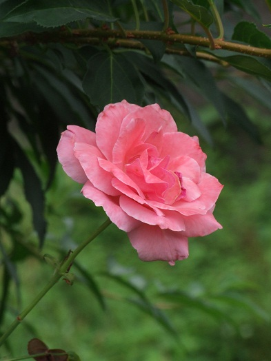 薔薇の薫る家~Cute~薔薇の油絵_b0089338_1025781.jpg