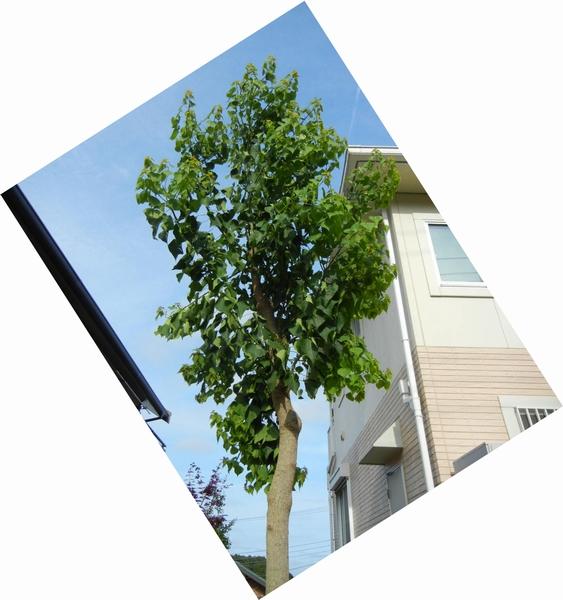 2011年7月24日(日)夏の木は伸び放題!_f0060461_16472156.jpg