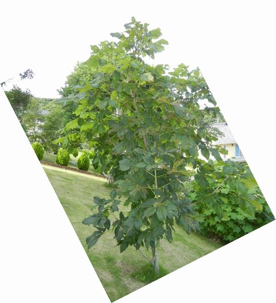 2011年7月24日(日)夏の木は伸び放題!_f0060461_16493866.jpg