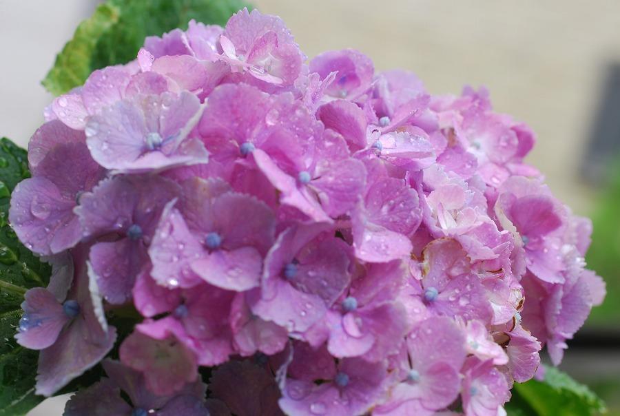 台風の去った後の花たち_c0187781_16542325.jpg