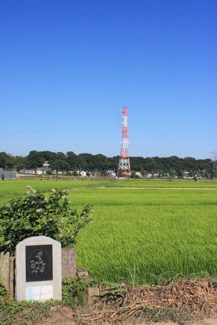矢切  「野菊のこみち」をゆく_b0061717_036686.jpg