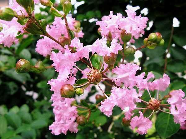 藤岡祇園祭&夏の花 2        _f0214527_1110040.jpg