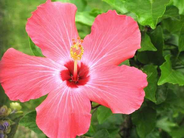 藤岡祇園祭&夏の花 2        _f0214527_1193246.jpg