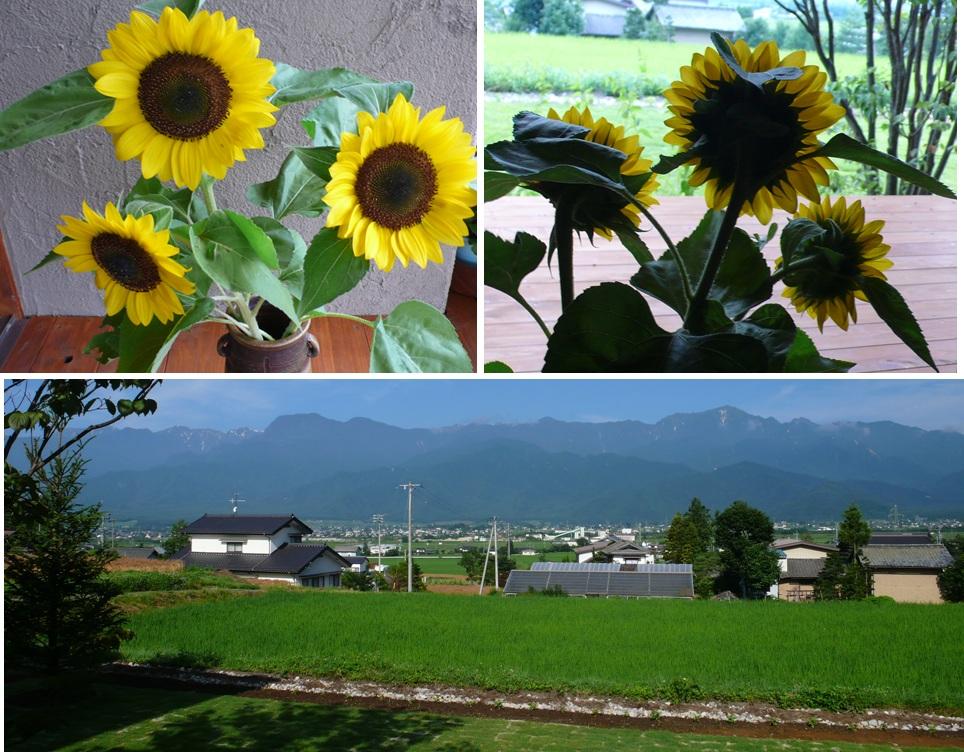 安曇野 ヒマワリと草色の風_a0212730_614999.jpg