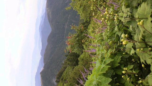今朝は見通しの良い雨。現在は雨も止んでいます。キレンゲショウマのつぼみは開花まであと一息。今朝の気温は11℃。_c0089831_7105414.jpg