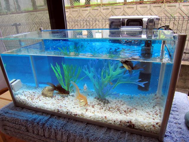 金魚の水槽・砂利洗い・・・水交換_f0051464_9415795.jpg