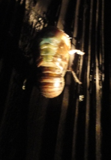 クマ蝉の羽化・観察日記(幼虫~羽化する1時間半)…2011/7/26_f0231709_041299.jpg