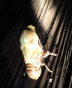 クマ蝉の羽化・観察日記(幼虫~羽化する1時間半)…2011/7/26_f0231709_047245.jpg