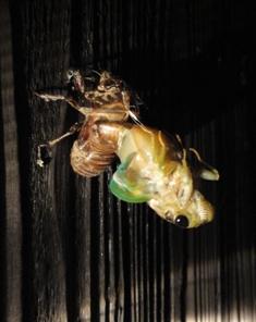 クマ蝉の羽化・観察日記(幼虫~羽化する1時間半)…2011/7/26_f0231709_0555594.jpg