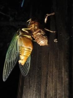 クマ蝉の羽化・観察日記(幼虫~羽化する1時間半)…2011/7/26_f0231709_111222.jpg