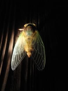 クマ蝉の羽化・観察日記(幼虫~羽化する1時間半)…2011/7/26_f0231709_1113564.jpg